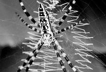 Arachnida / Arachnids is a class (Arachnida) of joint-legged invertebrate animals (arthropods), in the subphylum Chelicerata. All arachnids have eight legs, although the front pair of legs in some species has converted to a sensory function, while in other species, different appendages can grow large enough to take on the appearance of extra pairs of legs.