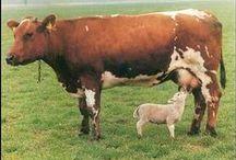 Cows / by Kim Hochman Aguayo