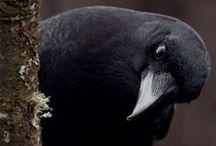 Crows & Ravens / black birds, ravens, poe / by Kim Hochman Aguayo