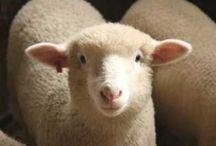 Homestead Sheep