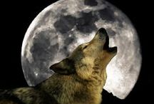 Animals: Cry Wolf / I love wolves!