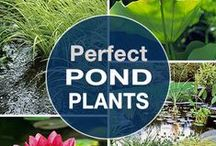 Water Garden Plants / BIOTOP swimming pools can incorporate plants to help naturally filter the water. We are always on the look out for beautiful plants that will add dimension, color, and drama to the function of the regeneration zone.