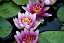 Lotus Love / by Julia Marriott