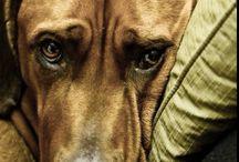 Animals / My favorite animals, dogs like rhodesian ridgebacks and bears