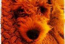 Fox terriers & Doggies stuff