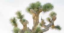 JT // Cactus + Joshua Trees