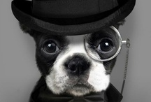 boston + company / Boston Terriers and other cute pups / by Jen