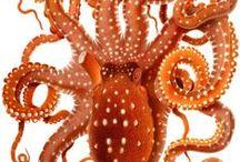 Graphic | Octopus