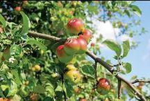 Gardening for Food & Medicine / vegetables, fruit, herbs, organic