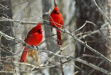 Cardinals<3 / by Suzanne Kondrat