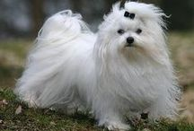 Luna's Stuff / We adopted a female adult Maltese. I've never had a tiny, hairy dog before. Usually I'm all about the big herding breeds. This is the place for information and craft ideas for her.