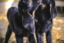 Homestead Goats + Dairy / Everything you need to know to raise goats on your homestead and safely handle milk from them!