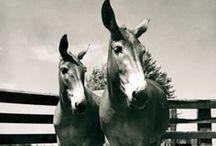 Mules in Missouri / Images of mules in Missouri