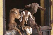    Buy ALL the Goats    / #goats #babygoats #malegoats #femalegoats #kids #farm #homestead #urbanfarm #buck #doe #cutegoats #adorablegoats #buyallthegoats / by Weed 'em & Reap Backyard Farming & Health