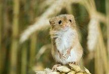 Mice, little mice