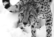 Painting inspiration- Big Cats / by Ashley Anderson