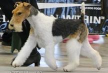 Wire Fox Terriers / best breed on the planet!