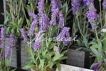 Lavandas/Lavender