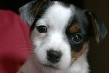 Jozi the jack russell / For my Jack Russell, Jozi