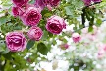 ~ A Rose Garden ~
