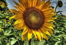 Sunflowers / by Debbie Wakolee