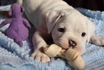 Doggie love! Boxers & American bulldogs