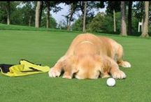 Dogs Golf Too! / We love golf and we love dogs...put the two together and you have a friend who can fetch your golf balls out of the woods!