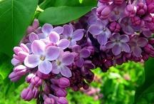 Lilacs / Lilacs!
