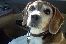 Beagles / by Kim Lattimer Long-Hyde