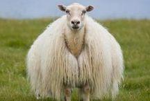 Woolly friends