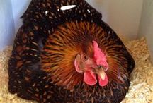Chick Chick / Chickens / by Pamela Crane