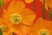 Poppies / Happy flowers, second only to the sunflower! / by Michelle Brewster