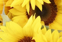 """Sunflowers / The """"Smile"""" Flower! / by Michelle Brewster"""