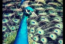 """peacock plumes / """"be a peacock in a world full of ducks"""""""