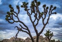 My Favorite Joshua Trees / My favorite Joshua Trees in the park