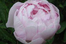 Pionit, ruusut , sekä muut puutarhan ylhäiset!! / Kuvia pioneista, ja ruusuista, jotka jo, tai kohta, löytyvät pihalta!