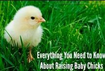 Chickens / I love my chickens. Check out some stories about them and tons of helpful tips about how to raise chickens of your very own. / by Mavis Butterfield