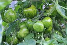 Gardening - Tomatoes / Everything you ever wanted to know about growing tomatoes. / by Mavis Butterfield