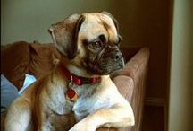 Puggle Love / Puggle Dogs, Puggle Dog, Dog Training Tips, Toys for Dogs, How to Care for Dogs,