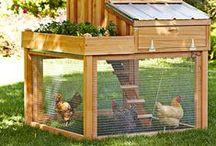 Chickity Chick Chicks :)