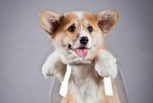 Doxies, Chihuahuas, and Corgis!! / What can I say? They're just cute! / by Patty Marcello
