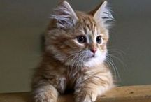 Siberian Kittens and Cats