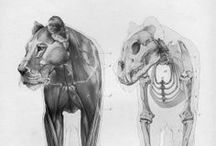 Animal Anatomy References / All kinds of animals. The proportions, muscles, bones and overall anatomy