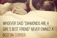 ♡ A: Boston Terriers ♡