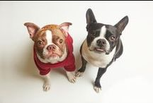 BOSTON TERRIERS / The cutest boston terriers on the web! / by Kira Stackhouse