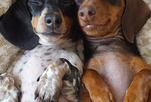 """Wiener Dogs Rule! / """"Nothing will turn a man's home into a castle more quickly and effectively than a dachshund."""" ―  Queen Victoria"""