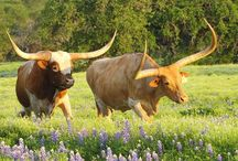 Longhorn/Cow Skull Obsession / NOT The University of Texas Longhorns. They're a beautiful breed of cattle, not just a football team.