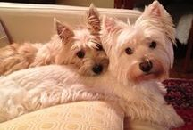 Westie Sightings / Westies. What more can I say. I adore them.