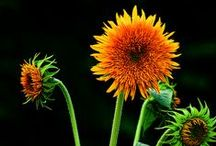 Gardening: Sunflowers / One of the most versatile flowers… and so many are yellow!
