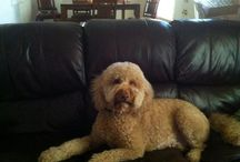Sophie the Labradoodle ! / Love my Labradoodle